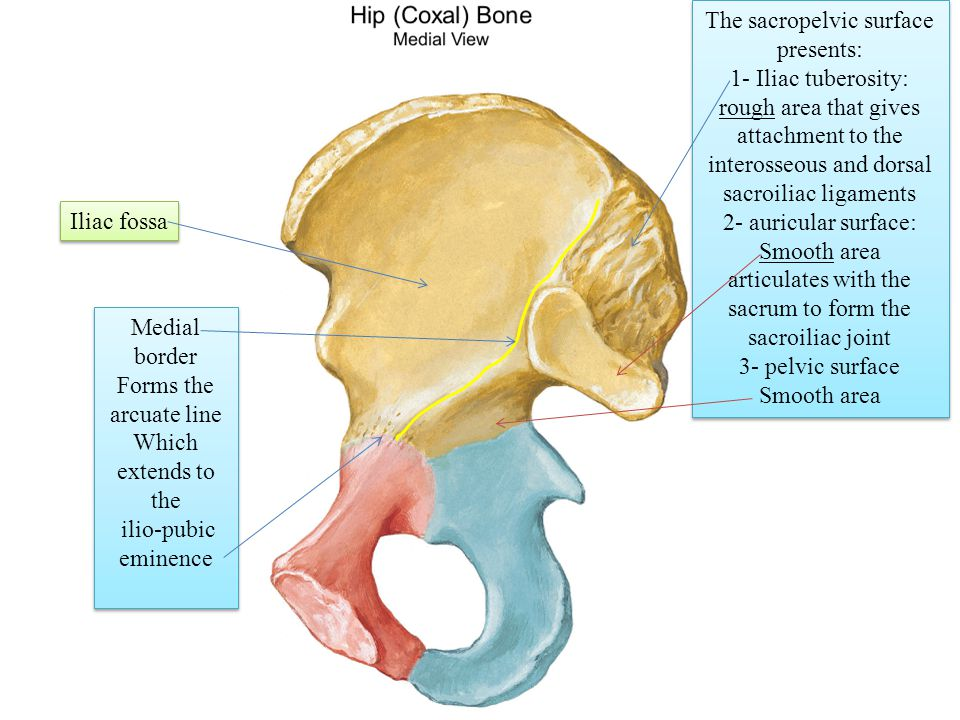 Bones of the gluteal r...