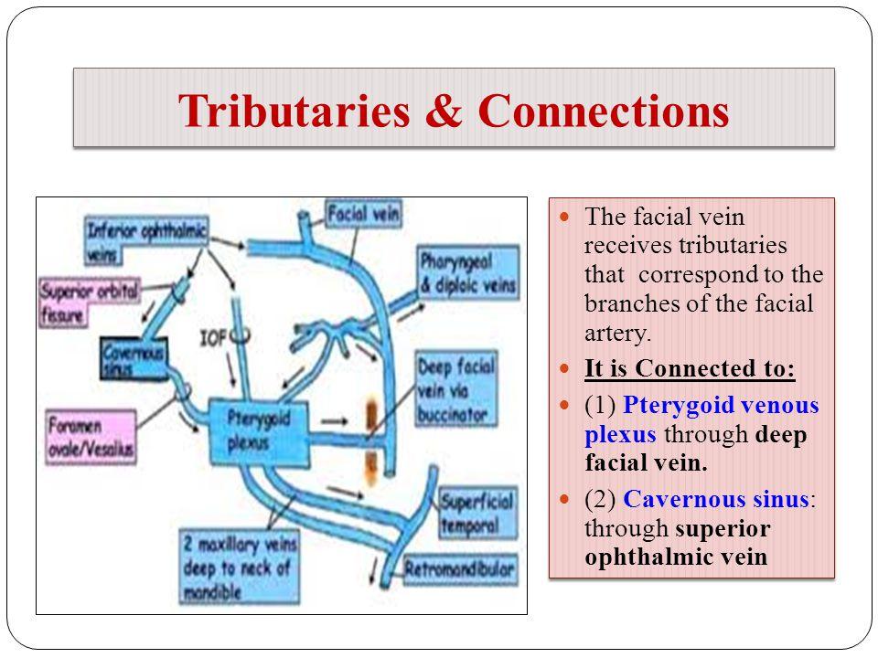 Outstanding Cavernous Sinus Anatomy Powerpoint Photo Anatomy And