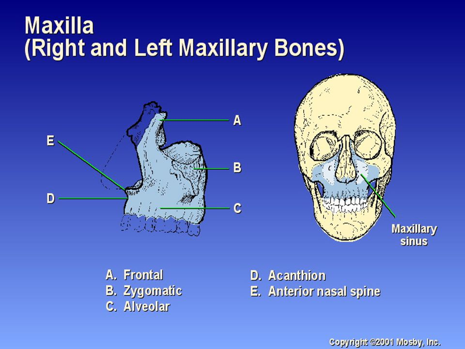 Facial Bone Anatomy & Positioning - ppt download