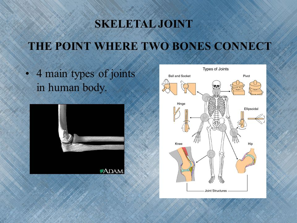 SKELETAL JOINT THE POINT WHERE TWO BONES CONNECT 4 main types of joints in human body.