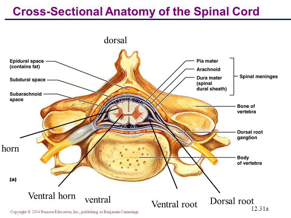 Cross Sectional Anatomy Of The Spinal Cord Choice Image - human body ...