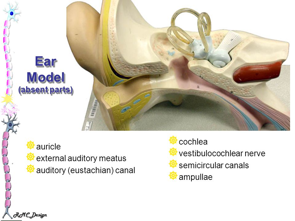 Ear Model (absent parts)