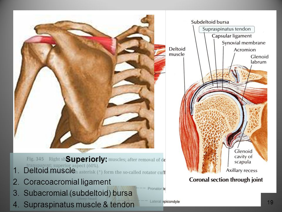 Functional Anatomy Of Shoulder Joint Ppt Video Online Download