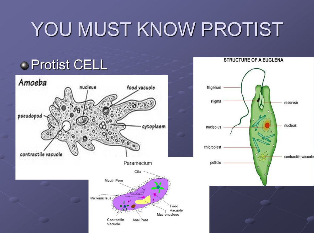 Cell And Their Organelles Ppt Video Online Download Animal Structure Diagram 3 You Must Know Protist