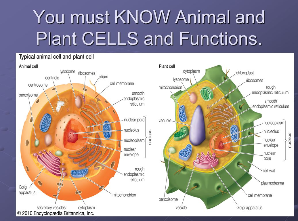 Cell And Their Organelles Ppt Video Online Download