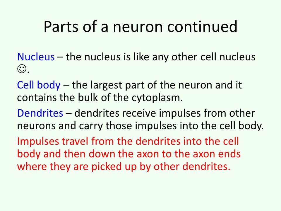 Parts of a neuron continued