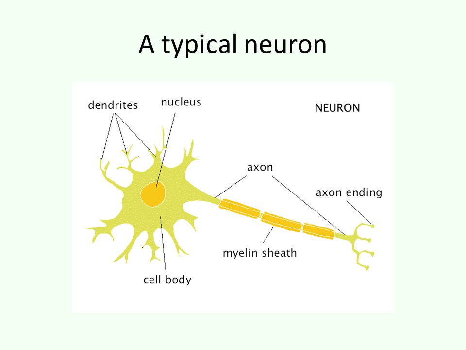 A typical neuron