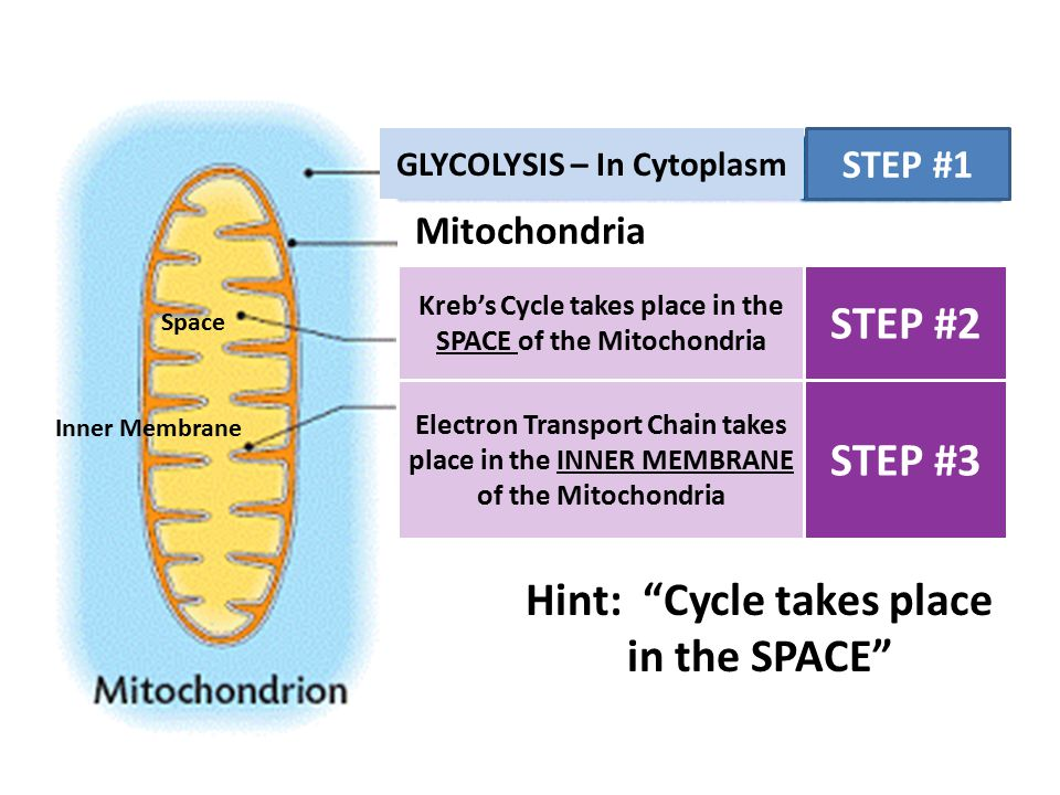 Image result for where does the electron transport chain occur