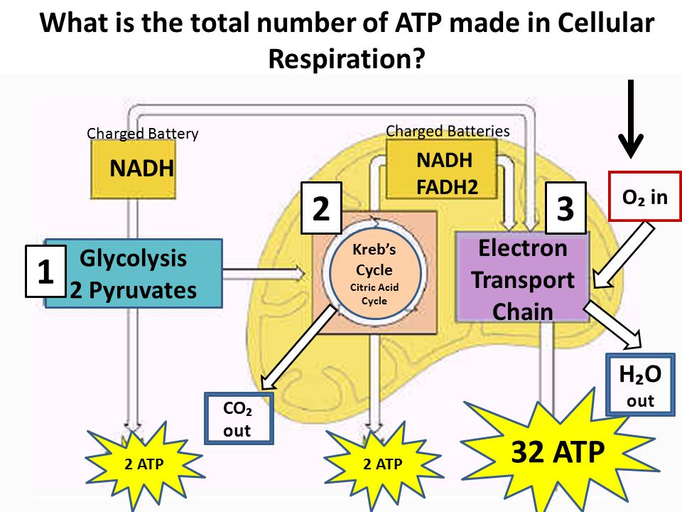 how many atps are produced total in cellular respiration