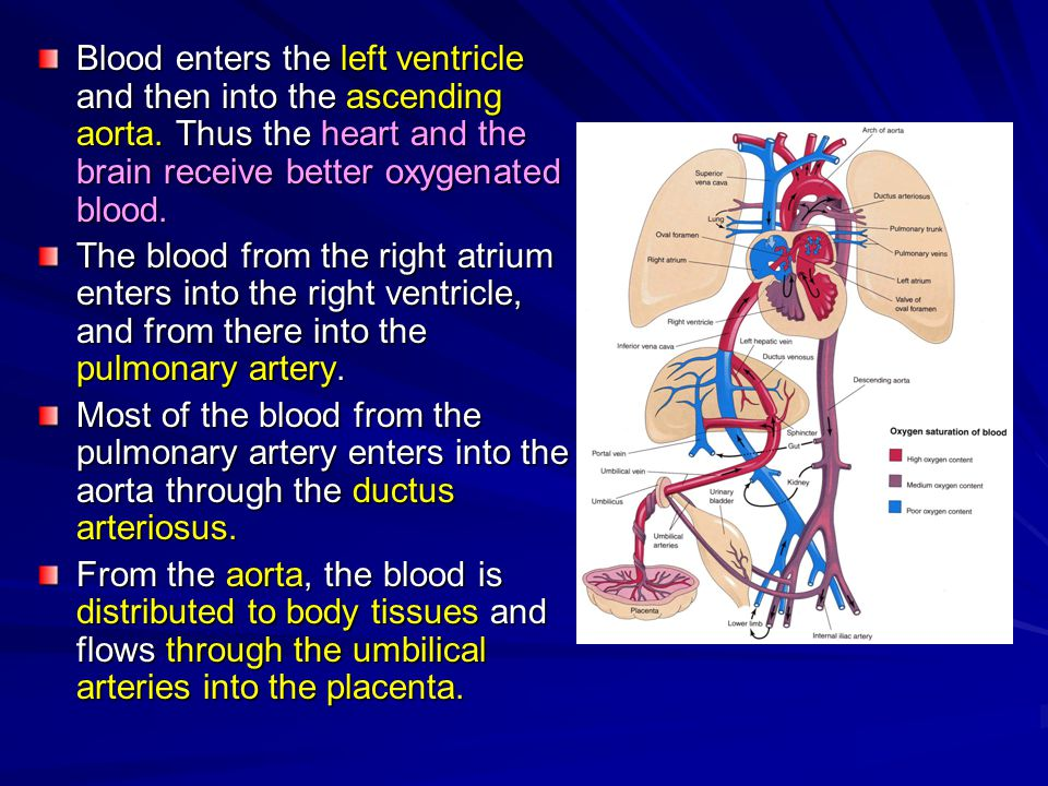 Development Of The Veins Ppt Video Online Download