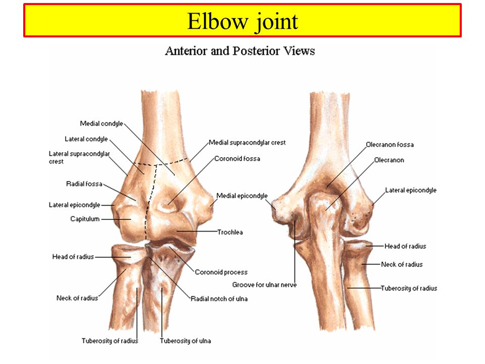 Amazing Anterior Elbow Anatomy Pictures - Anatomy And Physiology ...