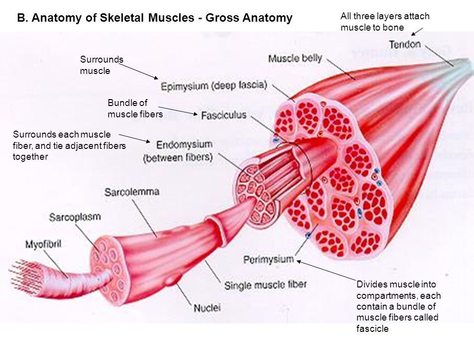 The Muscular System What do skeletal muscles do? How do muscles work ...