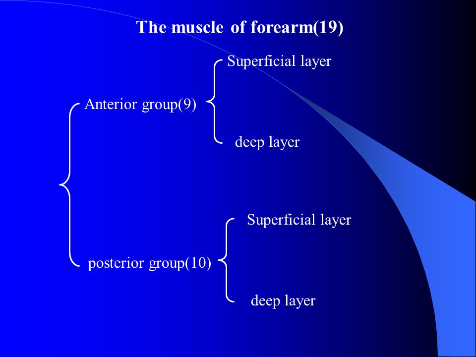 The muscle of forearm(19)