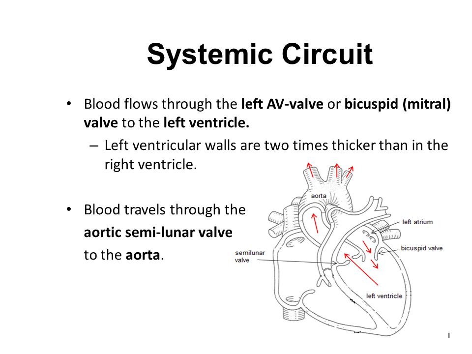 Systemic Circuit Blood flows through the left AV-valve or bicuspid (mitral) valve to the left ventricle.