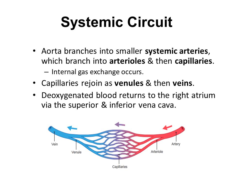 Systemic Circuit Aorta branches into smaller systemic arteries, which branch into arterioles & then capillaries.