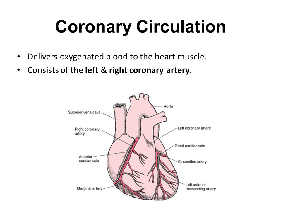 Coronary Circulation Delivers oxygenated blood to the heart muscle.