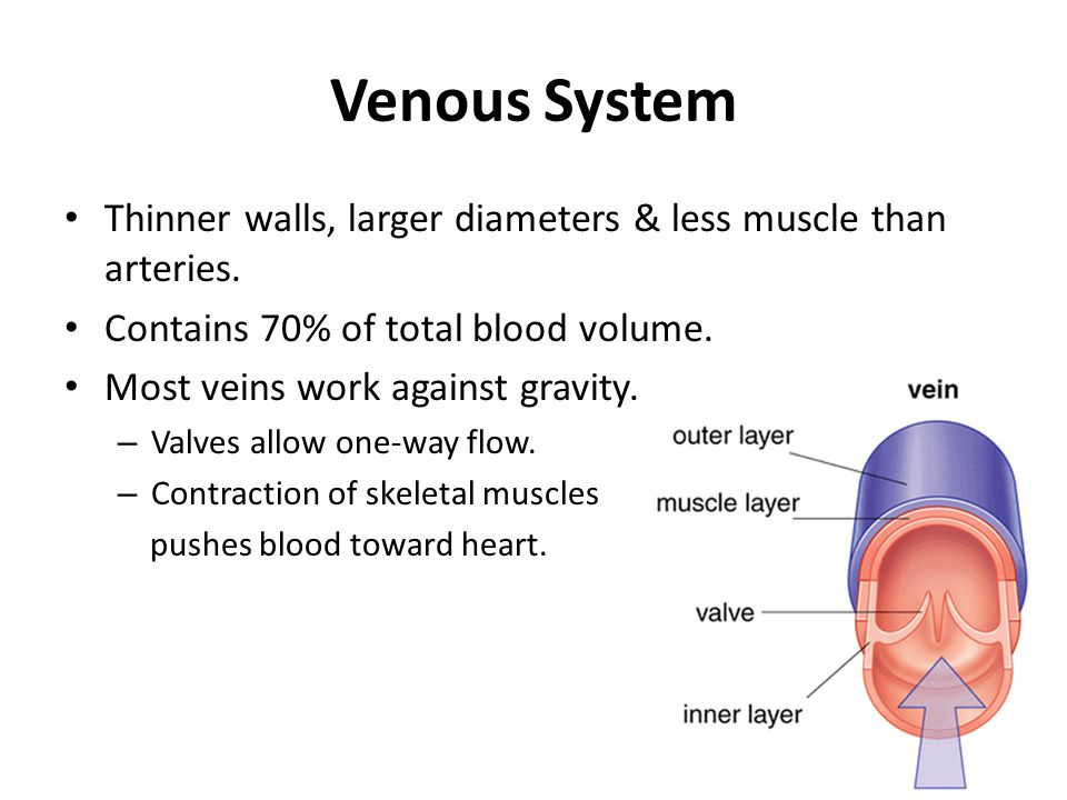 Venous System Thinner walls, larger diameters & less muscle than arteries. Contains 70% of total blood volume.
