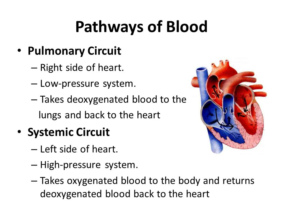 Pathways of Blood Pulmonary Circuit Systemic Circuit