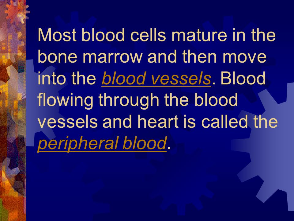 Most blood cells mature in the bone marrow and then move into the blood vessels.
