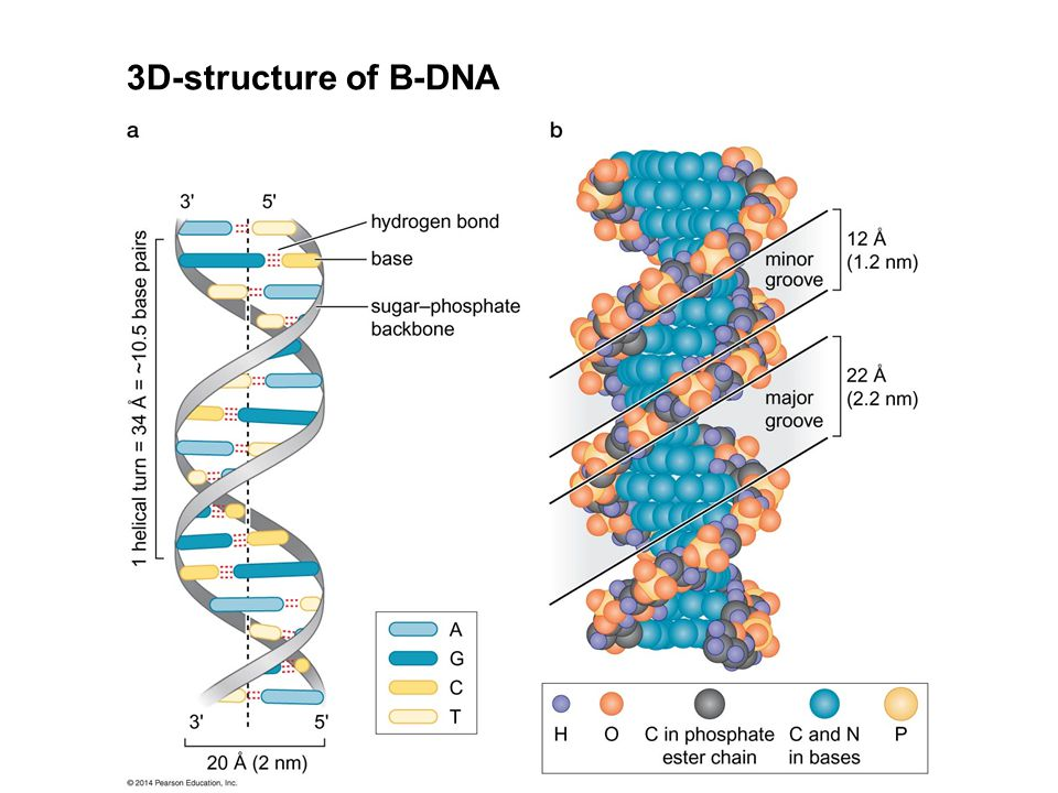 Structure and study of macromolecules ppt video online download 18 3d structure of b dna besides b dna there is also a and z dna that occurs naturally ccuart Gallery