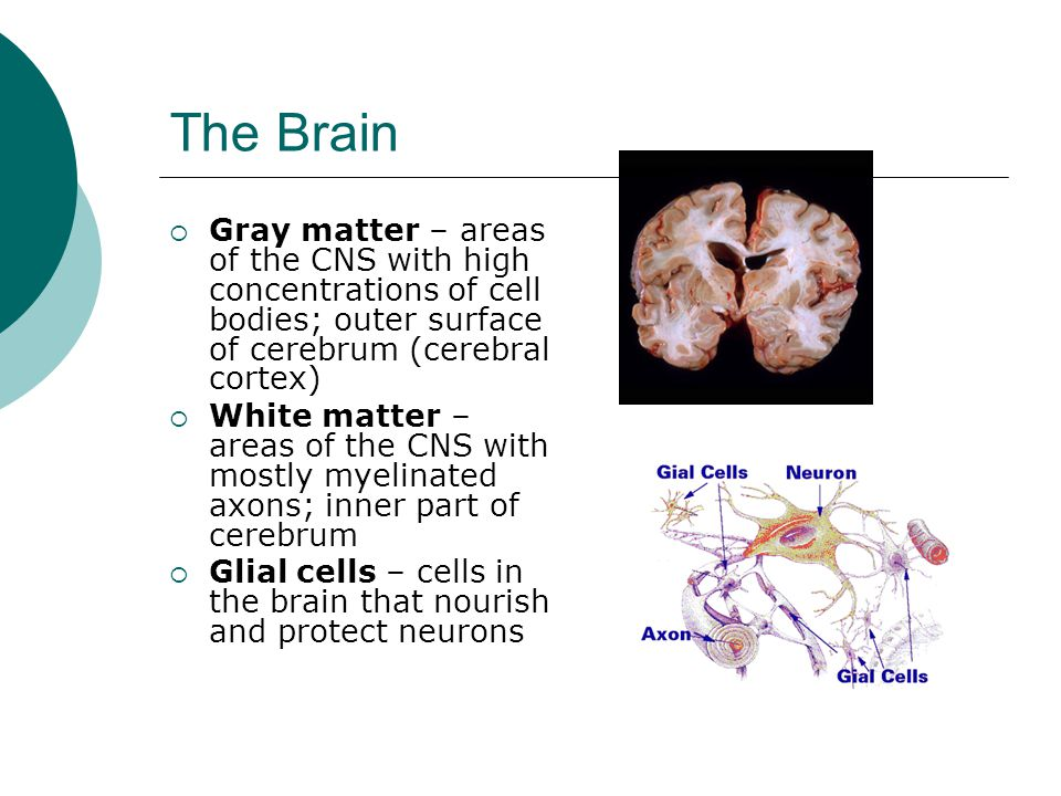 The Brain Gray matter – areas of the CNS with high concentrations of cell bodies; outer surface of cerebrum (cerebral cortex)