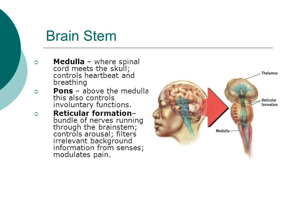 Brain Stem Medulla – where spinal cord meets the skull; controls heartbeat and breathing.