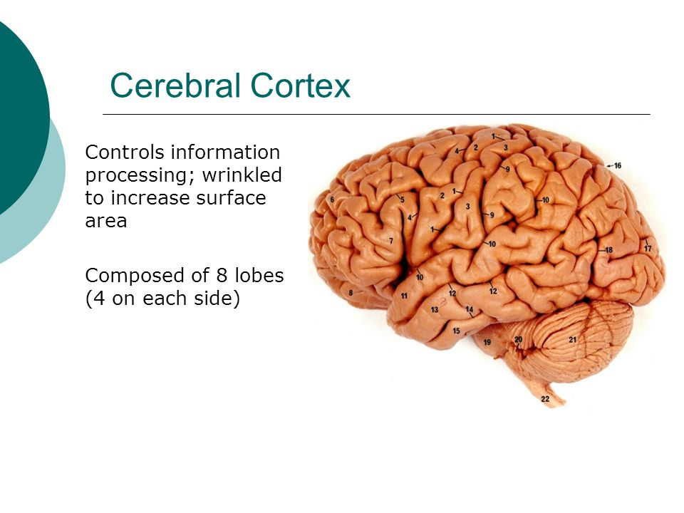 Cerebral Cortex Controls information processing; wrinkled to increase surface area.