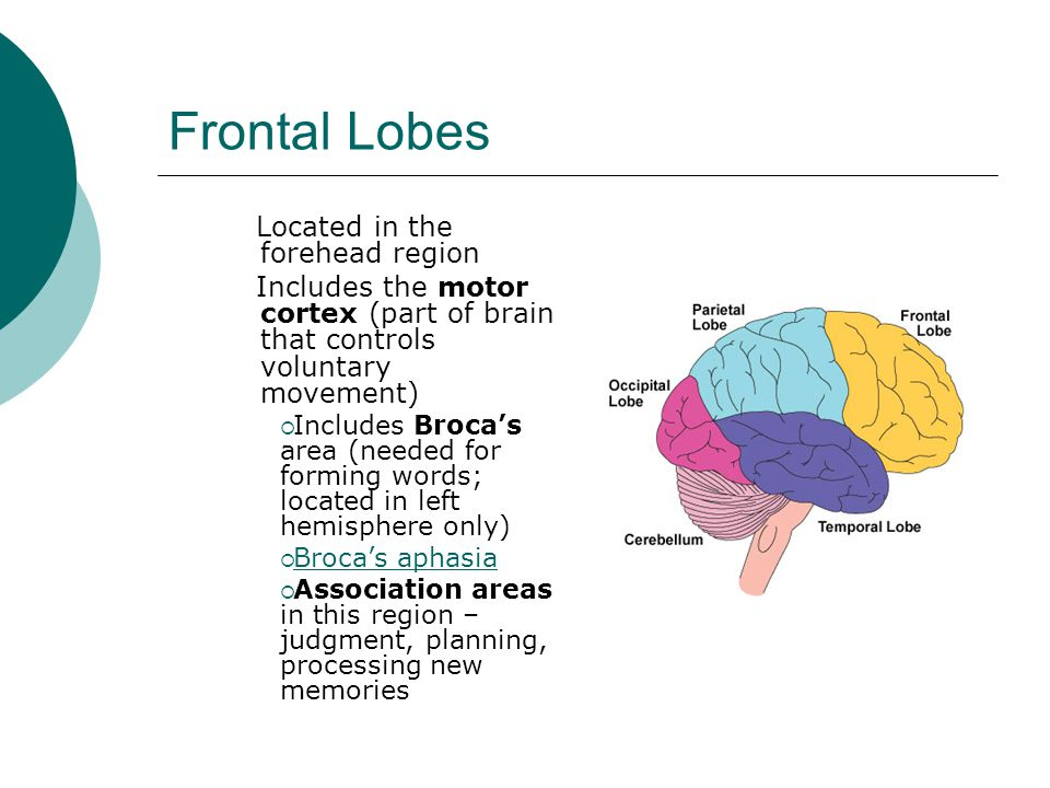 Frontal Lobes Located in the forehead region