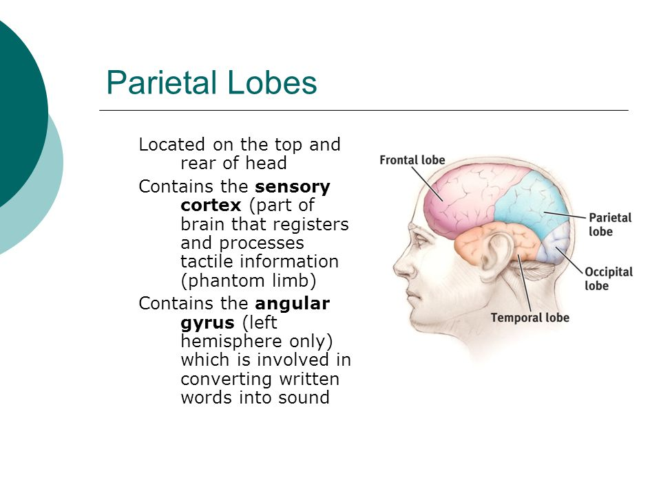 Parietal Lobes Located on the top and rear of head