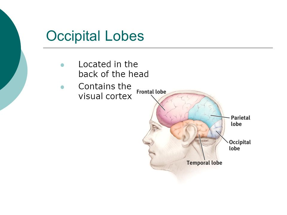 Occipital Lobes Located in the back of the head