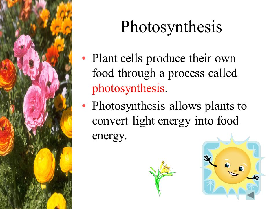 Photosynthesis Plant cells produce their own food through a process called photosynthesis.