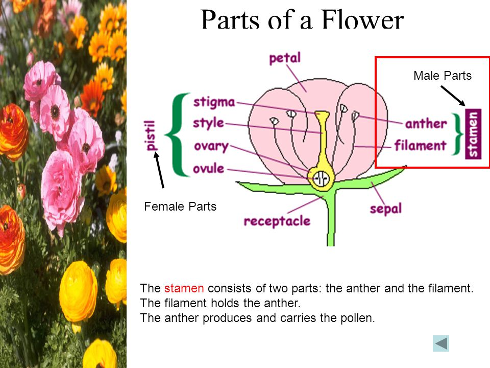 Parts of a Flower Male Parts Female Parts