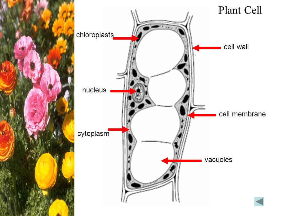 Plant Cell chloroplasts cell wall nucleus cell membrane cytoplasm
