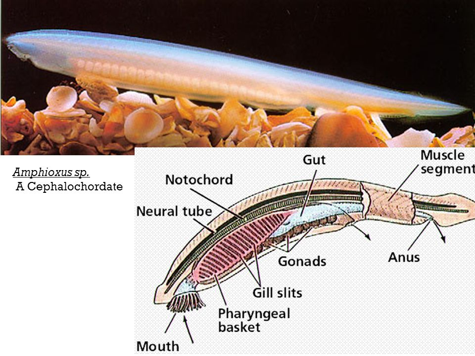 Phylum Chordata The Lower Chordates Ppt Video Online Download