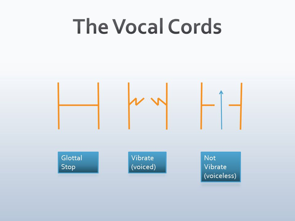 The Vocal Cords Glottal Stop Vibrate (voiced) Not Vibrate (voiceless)