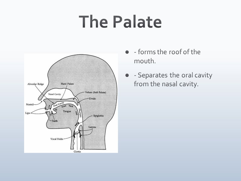 The Palate - forms the roof of the mouth.
