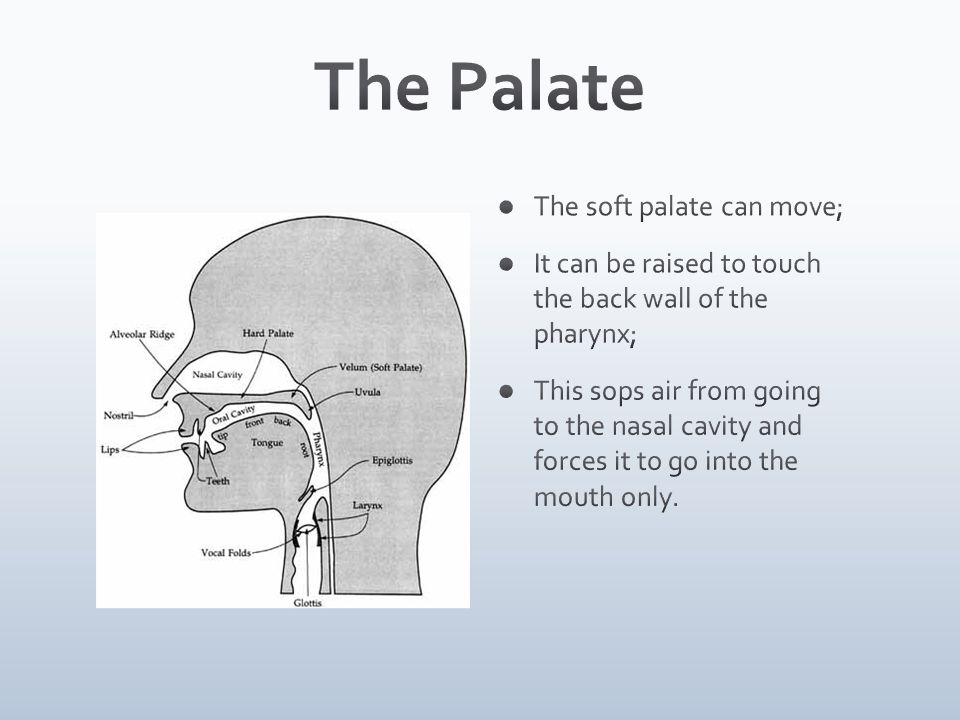 The Palate The soft palate can move;