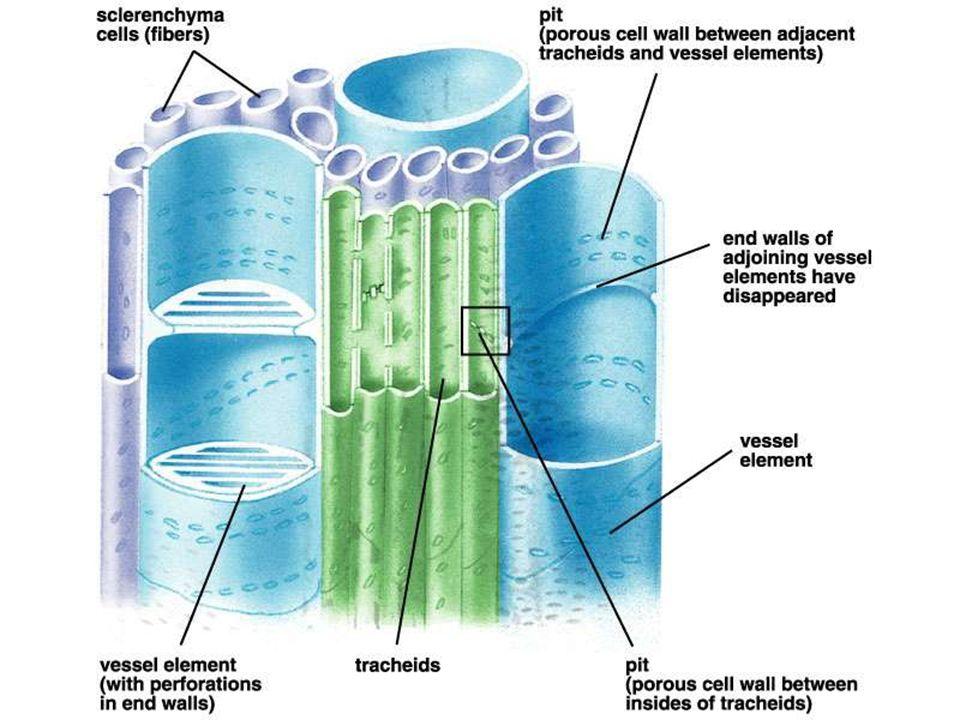 Vascular Tissue Xylem And Phloem Ppt Video Online Download