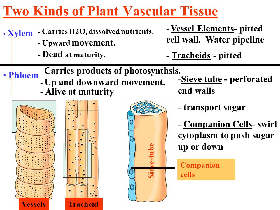 xylem tissue in plants transports minerals and Transport of substances in plants necessity for transport in plants • transport water and minerals • water needed as an important component of cells • mineral ions needed for chlorophyll synthesis, growth and development • plants have less elaborate and slower transport system than animals.