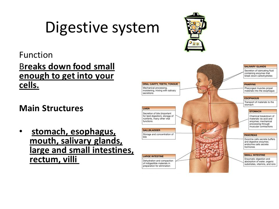 Digestive system Function