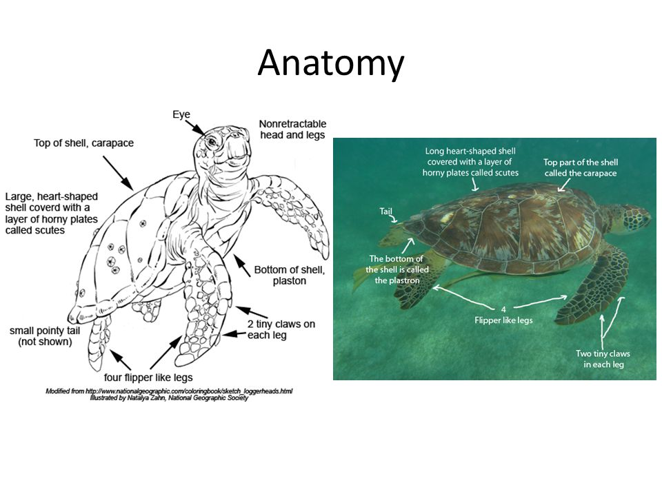 Sea Turtles. - ppt video online download