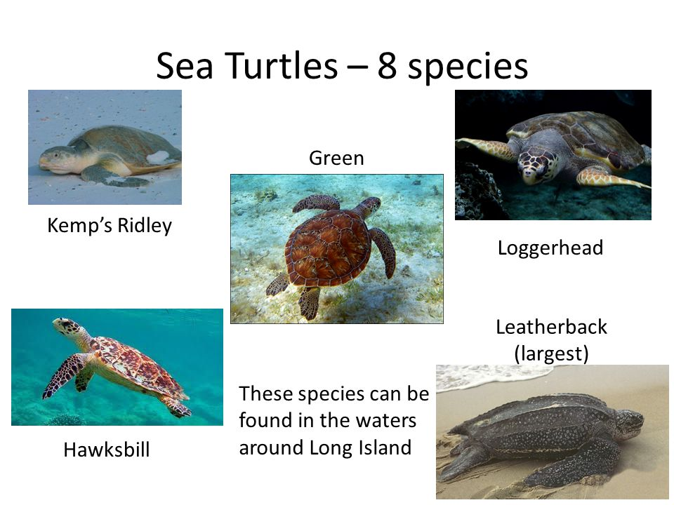 Sea Turtles. - ppt video online download
