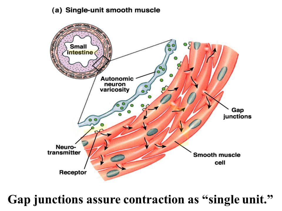Diagram Of Smooth Muscle Of Uterus - Search For Wiring Diagrams •