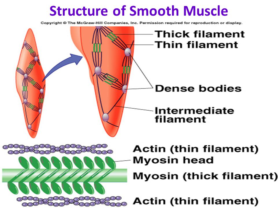 Physiology of Smooth Muscle - ppt video online download