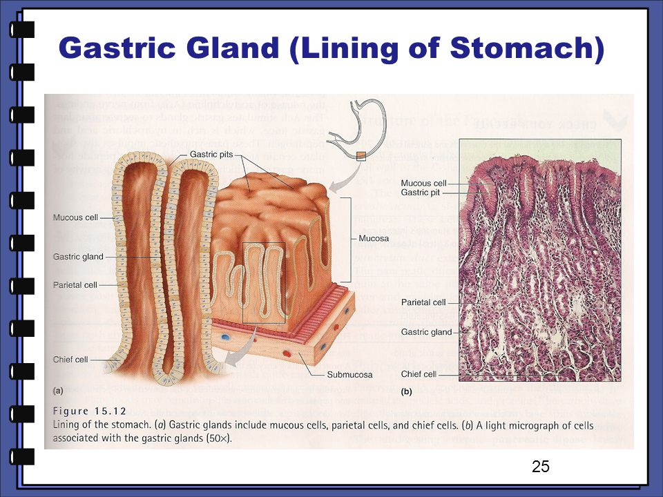 Gastric Gland (Lining of Stomach)