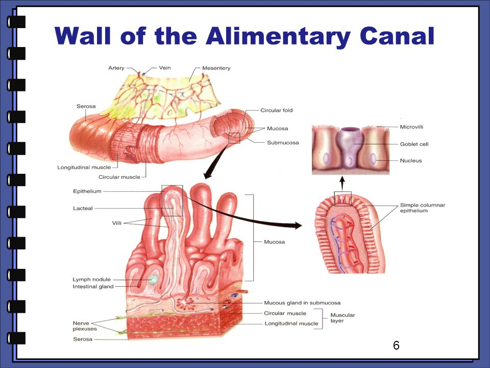 Wall of the Alimentary Canal