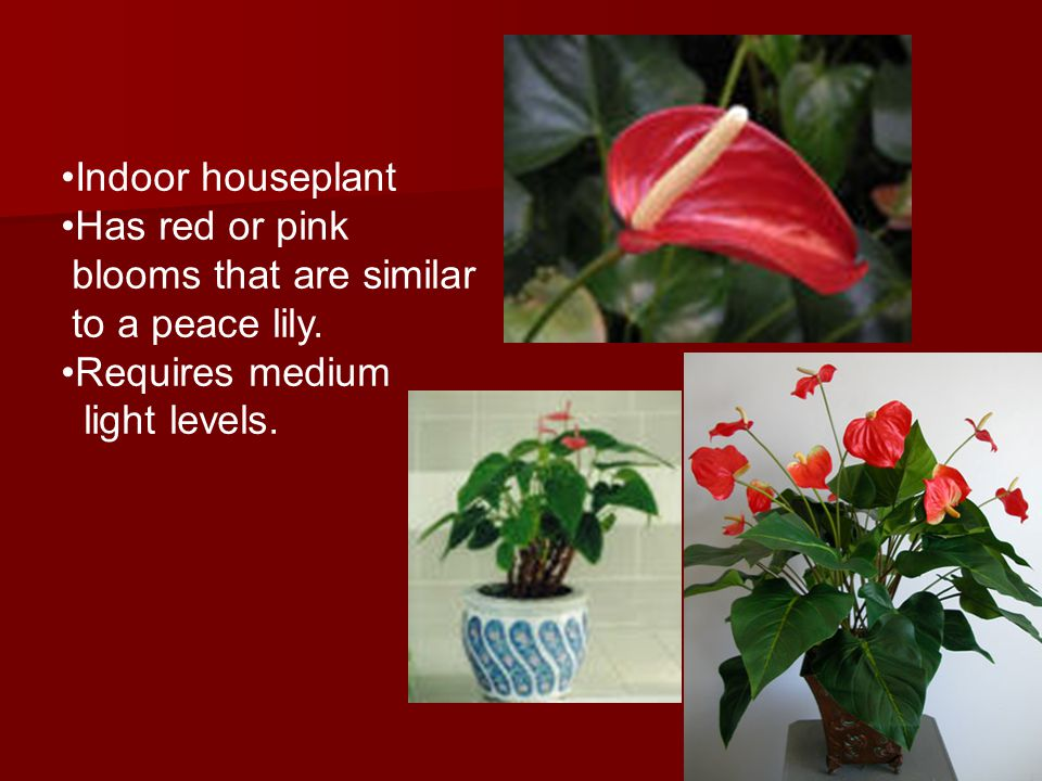 Foliage Plant ID week 2 QUIZ - ppt video online download on low light zz plant, philodendron house plant, lily of the valley plant, spathiphyllum plant, chinese evergreen indoor plant, peace prayer lily plant, lily with beta fish plant, red with a lily like plant bloom, wedding peace lily plant,