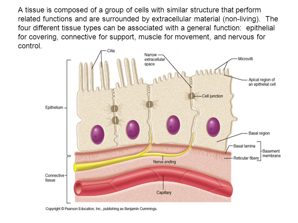 Chapter 4 Tissues Anatomy Ppt Video Online Download