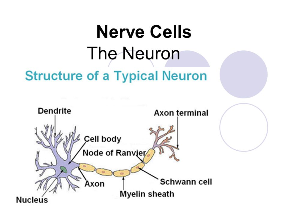 Nerve Cells The Neuron. - ppt download