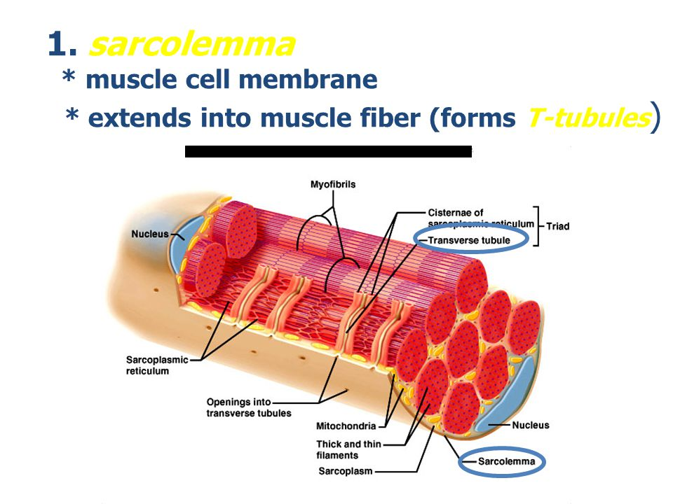 7.2 Microscopic Anatomy and Contraction of Skeletal Muscle - ppt ...